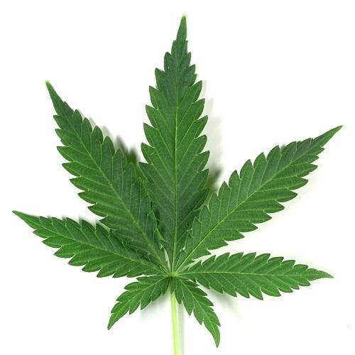 Premium Cannabis CBD